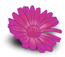 Kleines Gänseblümchen